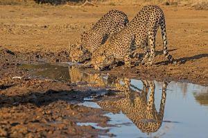 AEF-Benny-Rebel-Fotoreise-Suedafrika-Gepard