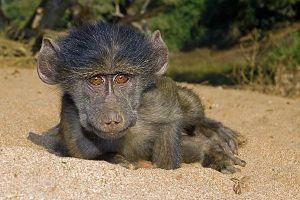 AFF-Benny-Rebel-Fotoreise-Suedafrika-Pavian