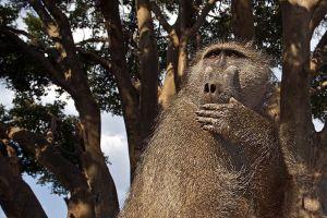 AFH-Benny-Rebel-Fotoreise-Afrika-Pavian
