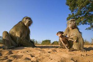 AFI-Benny-Rebel-Fotoreise-Suedafrika-Pavian