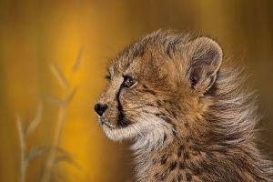 AHU-Benny-Rebel-Fotoreise-Suedafrika-Gepard