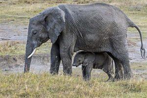 AJk-Benny-Rebel-Fotoreise-Tansania-Elefant