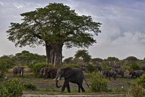 AJr-Benny-Rebel-Fotoreise-Tansania-Elefant
