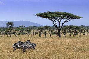 AKf-Benny-Rebel-Fotoreise-Tansania-Zebra