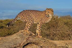 AKv-Benny-Rebel-Fotoreise-Suedafrika-Gepard