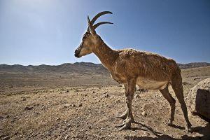 ALo-Benny-Rebel-Fotoreise-Iran-Persisches-Wildschaf