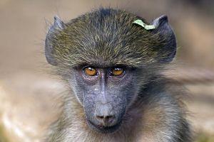 ALu-Benny-Rebel-Fotoreise-Suedafrika-Pavian
