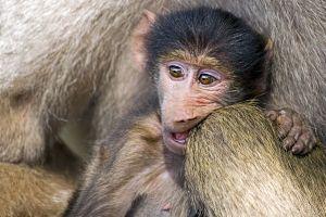 ASf-Benny-Rebel-Fotoreise-Suedafrika-Pavian