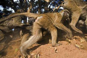 ASi-Benny-Rebel-Fotoreise-Suedafrika-Pavian
