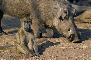 ASn-Benny-Rebel-Fotoreise-Suedafrika-Pavian