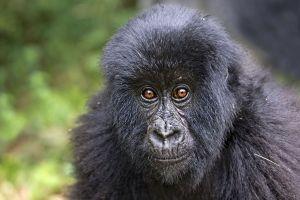 ASw-Benny-Rebel-Fotoreise-Berg-GorillaRuanda