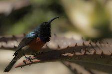 AUy-Benny-Rebel-Fotoreise-BindennektarvogelSuedafrika