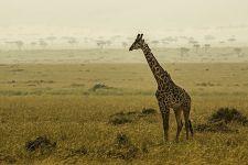 AVe-Benny-Rebel-Fotoreise-Kenia-Giraffe