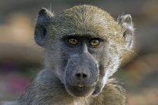 AWj-Benny-Rebel-Fotoreise-Suedafrika-Pavian