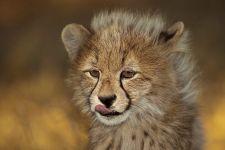 AWl-Benny-Rebel-Fotoreise-Suedafrika-Gepard
