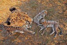 AWt-Benny-Rebel-Fotoreise-Suedafrika-Gepard