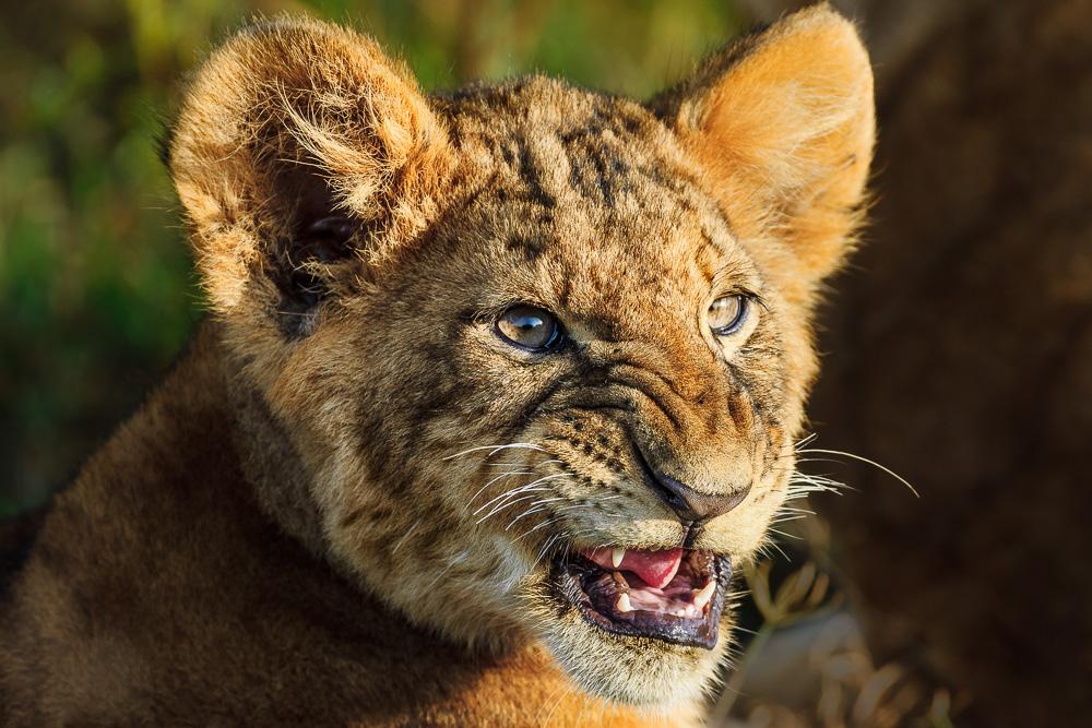 Fotoreise Kenia, Benny Rebel, Löwe