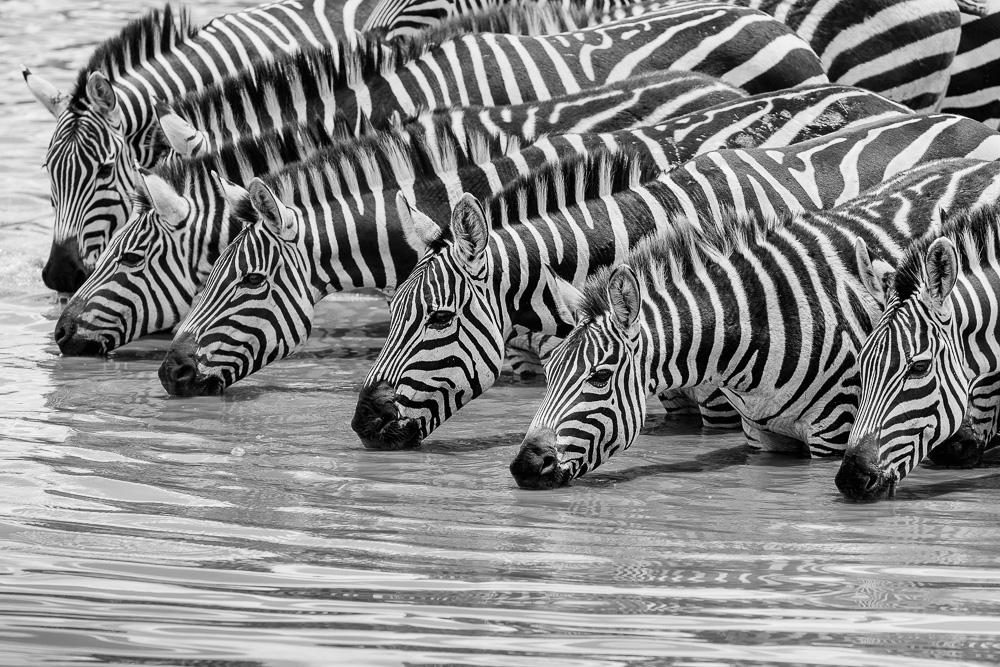 Fotoreise Kenia, Benny Rebel, Zebra, schwarz weiß