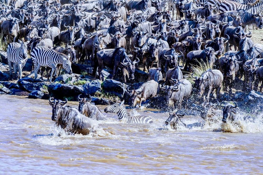 Fotoreise Kenia, Benny Rebel, Gnu, Flußüberquerung
