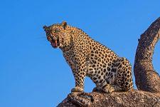 AA-Benny-Rebel-Fotoreise-Afrika-Leopard
