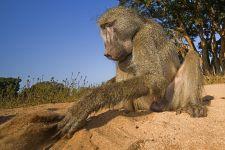 AA-Benny-Rebel-Fotoreise-Suedafrika-Pavian