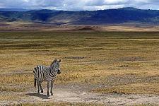 AA-Benny-Rebel-Fotoreise-Tansania-Zebra