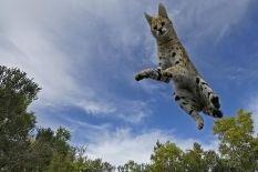 AAAC-Benny-Rebel-Fotoreise-Afrika-Serval