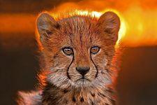 AB-Benny-Rebel-Fotoreise-Suedafrika-Gepard