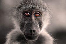 AB-Benny-Rebel-Fotoreise-Suedafrika-Pavian
