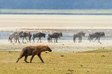 AC-Benny-Rebel-Fotoreise-Tansania-Hyaene