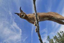 ADRAC-Benny-Rebel-Fotoreise-Suedafrika-KarakalLuchs