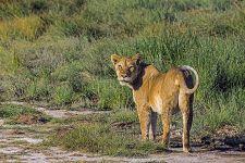 AF-Benny-Rebel-Fotoreise-Suedafrika-Loewe