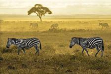 AG-Benny-Rebel-Fotoreise-Kenia-Zebra