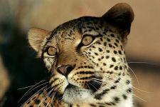 AG-Benny-Rebel-Fotoreise-Namibia-Leopard