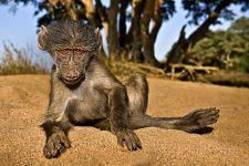 AI-Benny-Rebel-Fotoreise-Suedafrika-Pavian