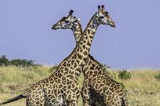 AJ-Benny-Rebel-Fotoreise-Kenia-Giraffe