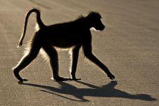 AJQ-Benny-Rebel-Fotoreise-Suedafrika-Pavian