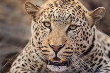 AK-Benny-Rebel-Fotoreise-Suedafrika-Leopard