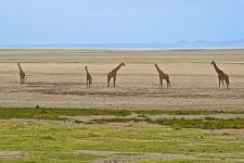 AK-Benny-Rebel-Fotoreise-Tansania-Giraffe