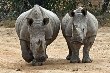 AKA-Benny-Rebel-Fotoreise-Swaziland-Breitmaul-Nashorn