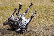 ALQ-Benny-Rebel-Fotoreise-Tansania-Zebra