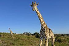 ANC-Benny-Rebel-Fotoreise-Suedafrika-Giraffe