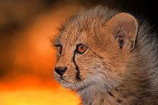 AOA-Benny-Rebel-Fotoreise-Suedafrika-Gepard