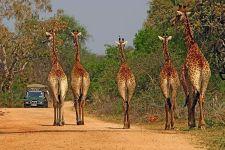 AP-Benny-Rebel-Fotoreise-Suedafrika-Giraffe