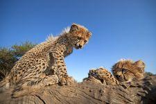 AQ-Benny-Rebel-Fotoreise-Suedafrika-Gepard