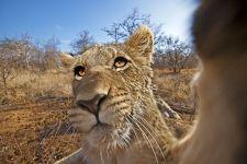 AQ-Benny-Rebel-Fotoreise-Suedafrika-Loewe
