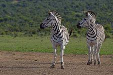 ASA-Benny-Rebel-Fotoreise-Suedafrika-Zebra
