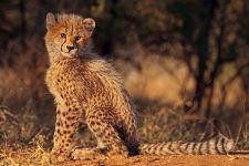 AT-Benny-Rebel-Fotoreise-Suedafrika-Gepard