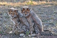 ATC-Benny-Rebel-Fotoreise-Suedafrika-Gepard