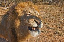 ATR-Benny-Rebel-Fotoreise-Kenia-Loewe